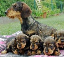 Породы собак с описанием и фото. - Страница 2 1480596917_dachshund-photo-1