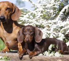 Породы собак с описанием и фото. - Страница 2 1480596925_dachshund-photo-5