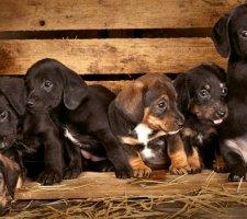 Породы собак с описанием и фото. - Страница 2 1480596926_dachshund-photo-9