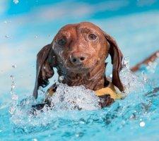 Породы собак с описанием и фото. - Страница 2 1480596933_dachshund-photo-3