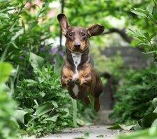 Породы собак с описанием и фото. - Страница 2 1480596935_dachshund-photo-6