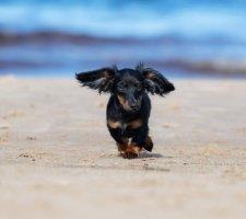 Породы собак с описанием и фото. - Страница 2 1480596942_dachshund-photo-8