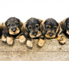 Породы собак с описанием и фото. - Страница 2 1480596960_dachshund-photo-4