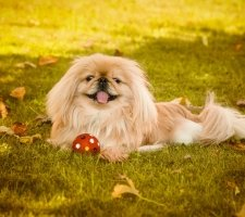 Породы собак с описанием и фото. - Страница 2 1480601109_pekingese-photo-5