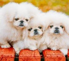 Породы собак с описанием и фото. - Страница 2 1480601139_pekingese-photo-1