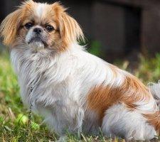 Породы собак с описанием и фото. - Страница 2 1480601146_pekingese-photo-9