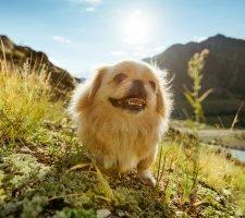 Породы собак с описанием и фото. - Страница 2 1480601155_pekingese-photo-4