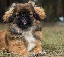 Породы собак с описанием и фото. - Страница 2 1480601162_pekingese-photo-2