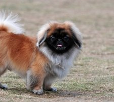 Породы собак с описанием и фото. - Страница 2 1480601162_pekingese-photo-7