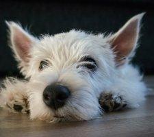 Собака вест хайленд уайт терьер