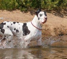 Породы собак с описанием и фото. - Страница 2 1480768173_great-dane-dog-photo-2