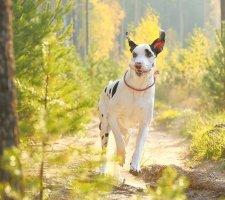 Породы собак с описанием и фото. - Страница 2 1480768218_great-dane-dog-photo-1