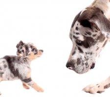Породы собак с описанием и фото. - Страница 2 1480768234_great-dane-dog-photo-5