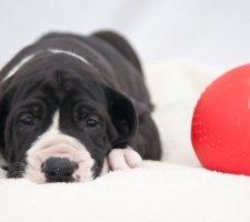 Породы собак с описанием и фото. - Страница 2 1480768267_great-dane-dog-photo-8