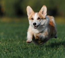 Собаки елизаветы 2 порода