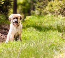 Породы собак с описанием и фото. - Страница 2 1480929135_leonberger-dog-photo-2