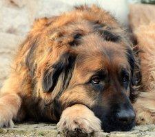 Породы собак с описанием и фото. - Страница 2 1480929150_leonberger-dog-photo-8