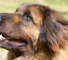 Породы собак с описанием и фото. - Страница 2 1480929150_leonberger-dog-photo-9