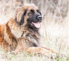 Породы собак с описанием и фото. - Страница 2 1480929180_leonberger-dog-photo-1