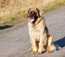 Породы собак с описанием и фото. - Страница 2 1480929180_leonberger-dog-photo-6
