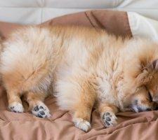 Породы собак с описанием и фото. - Страница 2 1480941165_pomeranian-dog-photo-8