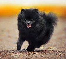Породы собак с описанием и фото. - Страница 2 1480941170_pomeranian-dog-photo-3