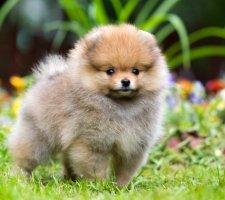 Породы собак с описанием и фото. - Страница 2 1480941202_pomeranian-dog-photo-1