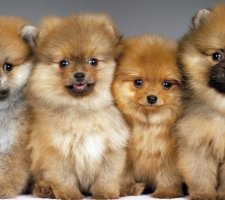 Породы собак с описанием и фото. - Страница 2 1480941203_pomeranian-dog-photo-12