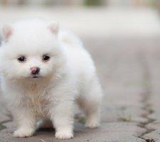 Породы собак с описанием и фото. - Страница 2 1480941205_pomeranian-dog-photo-10