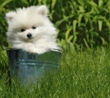 Породы собак с описанием и фото. - Страница 2 1480941207_pomeranian-dog-photo-2