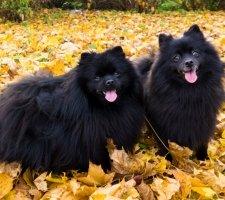 Породы собак с описанием и фото. - Страница 2 1480941207_pomeranian-dog-photo-4