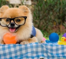Породы собак с описанием и фото. - Страница 2 1480941236_pomeranian-dog-photo-7