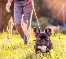 Породы собак с описанием и фото. - Страница 2 1480946864_french-bulldog-dog-photo-1