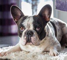 Породы собак с описанием и фото. - Страница 2 1480946879_french-bulldog-dog-photo-3
