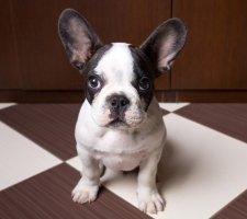 Породы собак с описанием и фото. - Страница 2 1480946883_french-bulldog-dog-photo-12