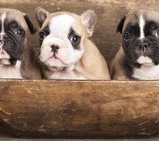 Три щенка французского бульдога