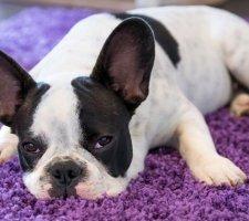 Породы собак с описанием и фото. - Страница 2 1480946908_french-bulldog-dog-photo-4