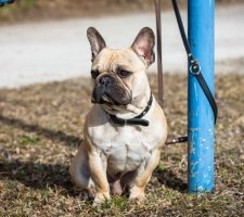 Породы собак с описанием и фото. - Страница 2 1480946917_french-bulldog-dog-photo-8