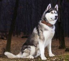 Породы собак с описанием и фото. - Страница 2 1481207621_siberian-husky-dog-photo-1