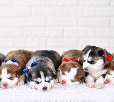 Породы собак с описанием и фото. - Страница 2 1481207666_siberian-husky-dog-photo-5