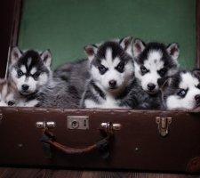 Породы собак с описанием и фото. - Страница 2 1481207695_siberian-husky-dog-photo-6
