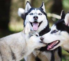 Породы собак с описанием и фото. - Страница 2 1481207697_siberian-husky-dog-photo-3