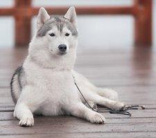 Породы собак с описанием и фото. - Страница 2 1481207710_siberian-husky-dog-photo-7