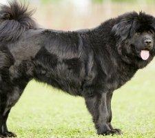 Породы собак с описанием и фото. - Страница 2 1481469772_tibetan-mastiff-dog-photo-4