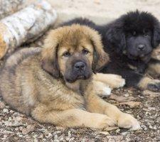 Породы собак с описанием и фото. - Страница 2 1481469784_tibetan-mastiff-dog-photo-7
