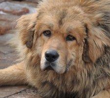 Породы собак с описанием и фото. - Страница 2 1481469785_tibetan-mastiff-dog-photo-3