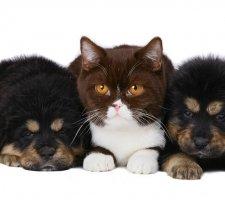 Породы собак с описанием и фото. - Страница 2 1481469794_tibetan-mastiff-dog-photo-5