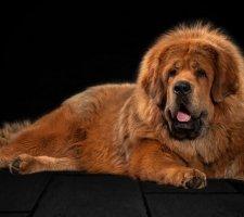 Породы собак с описанием и фото. - Страница 2 1481469796_tibetan-mastiff-dog-photo-6