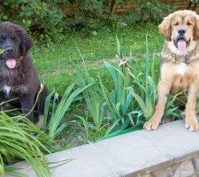 Породы собак с описанием и фото. - Страница 2 1481469857_tibetan-mastiff-dog-photo-1