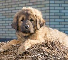 Породы собак с описанием и фото. - Страница 2 1481469861_tibetan-mastiff-dog-photo-2
